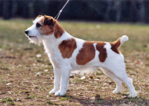 jack-russell-terrier-m001